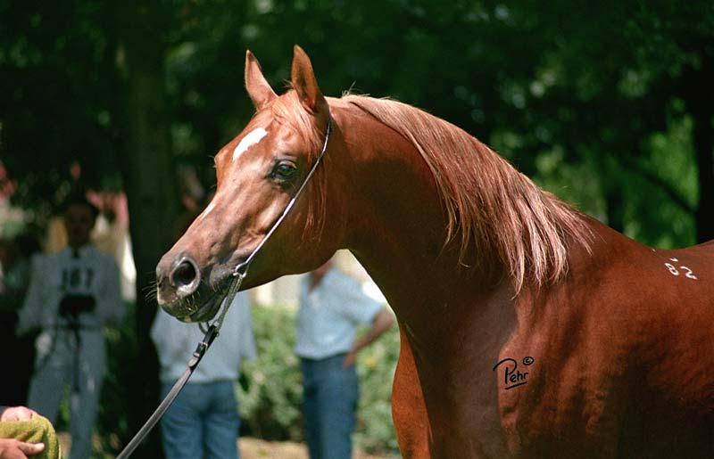 Arabian Stallions Animal Art By Monika Pehr